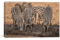 Nervous Zebra at waterhole, Canvas Print