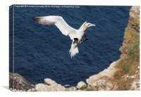 Gannet landing approach, Canvas Print