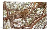 Leopard with kill, Canvas Print
