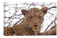 The Leopard's Stare, Canvas Print