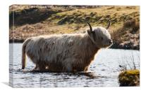 Backlit Leucistic Highland Cow, Canvas Print