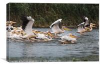 Pelican Play, Canvas Print