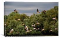 Pelican Flight, Canvas Print