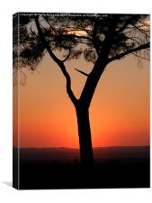 Sunset behind the pine tree, Canvas Print