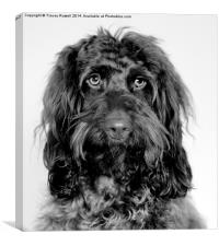 Handsome Cockapoo, Canvas Print