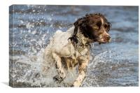 Springer Spaniel Running in river, Canvas Print