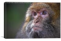 Barbary Macaque female, Canvas Print
