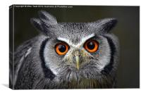 White Faced Scops Owl - Portrait, Canvas Print