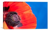 Close up of a Red Poppy, Canvas Print
