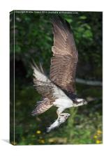 Osprey - the Loch Garten male 'Odin', Canvas Print