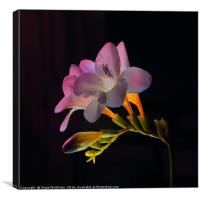 Freesia II, Canvas Print