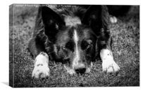Relaxing Border Collie Black and White, Canvas Print