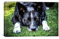 Relaxing Border Collie, Canvas Print