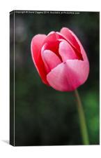 The Lone Tulip, Canvas Print