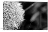 Black and White Dandelion, Canvas Print