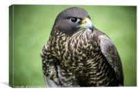 Black Gyr Peregrine Falcon, Canvas Print