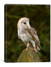 Barn Owl on Gravestone, Canvas Print