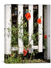 Poppies and white fence., Canvas Print