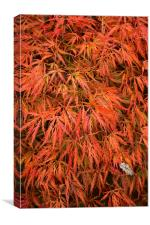 Maple Leaves in the Fall - Autumn, Canvas Print