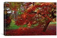 Maple turn turning fiery red , Canvas Print