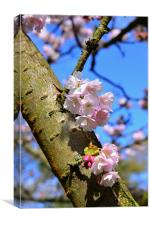 Spring time blossom on branch , Canvas Print