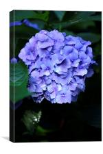 Blue Hydrangea with water droplets on the petals, Canvas Print