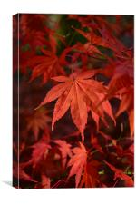 Fire red Maple leaf in detail , Canvas Print