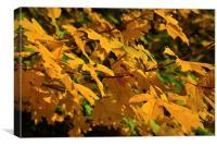 Yellow maples plus a fly enjoying the Autumn sun , Canvas Print