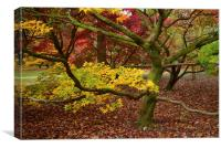 Maple tree in foliage as they turn colour during A, Canvas Print