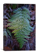 A frosty Green fern. Large green fern covered in f, Canvas Print