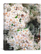 Blossom in spring time, Canvas Print