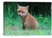 the cute little fox cub, Canvas Print