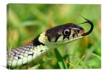 The Grass Snake, Canvas Print
