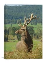 17-point stag, Canvas Print