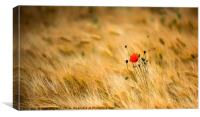 Poppies and Barley, Canvas Print