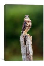The merlin (Falco columbarius), Canvas Print