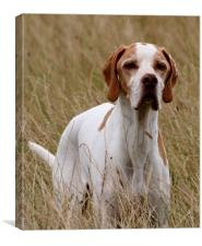 English Pointer, Canvas Print