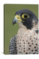 Peregrine Falcon (Falco peregrinus), Canvas Print