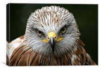 Red Kite (Milvus milvus), Canvas Print
