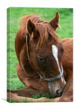 Foal, Canvas Print