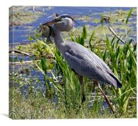 Great Blue Heron (Ardea herodias), Canvas Print