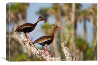 Black-bellied Whistling-duck(Dendrocygna autumnal), Canvas Print
