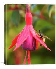 The Wasp and the Fuchsia, Canvas Print