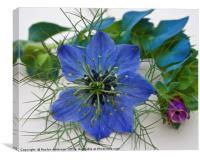 Fennel Flower, Canvas Print