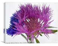 Blue Cornflower & Knapweed, Canvas Print