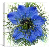 Blue Fennel Flower, Canvas Print