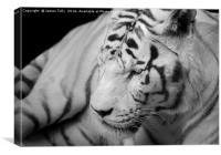 The spectacular Siberian tiger, Canvas Print