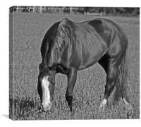 Grazing horse, Canvas Print