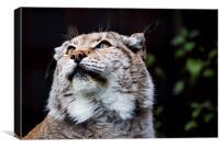 Eurasian lynx, Canvas Print