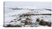 Lonely Sheep, Canvas Print